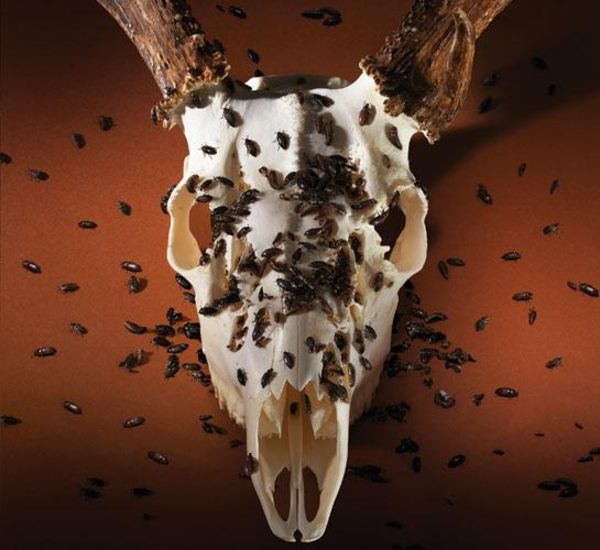 deer skull bleach bugs using easy outdoorlife steps follow need via muskethunting