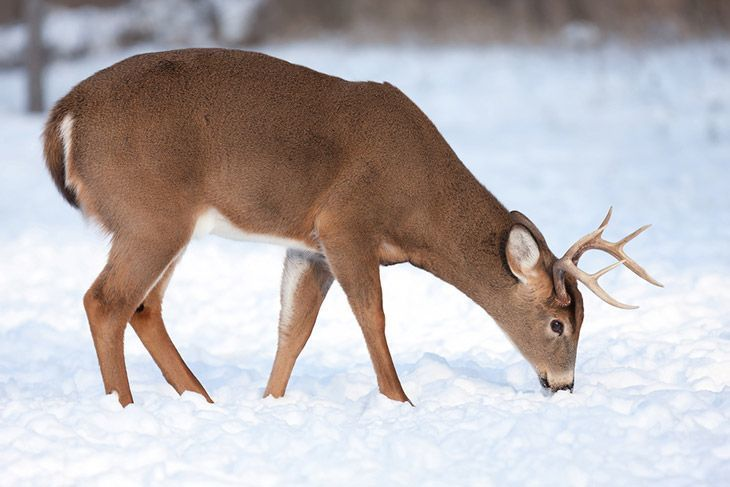 white-tailed deer buck feeding