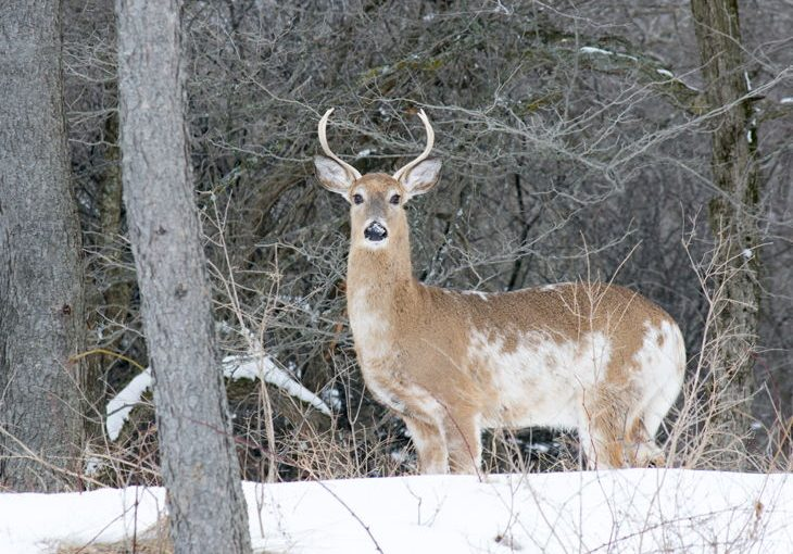 How Rare Are the Piebald Deer?