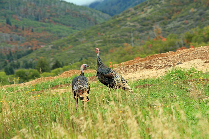 how long do wild turkeys live