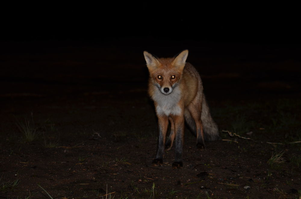 foxes hunting at night