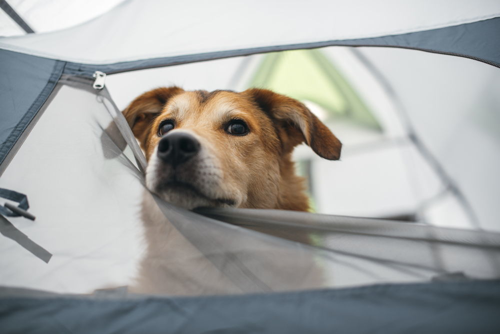 Yellow dog in tent