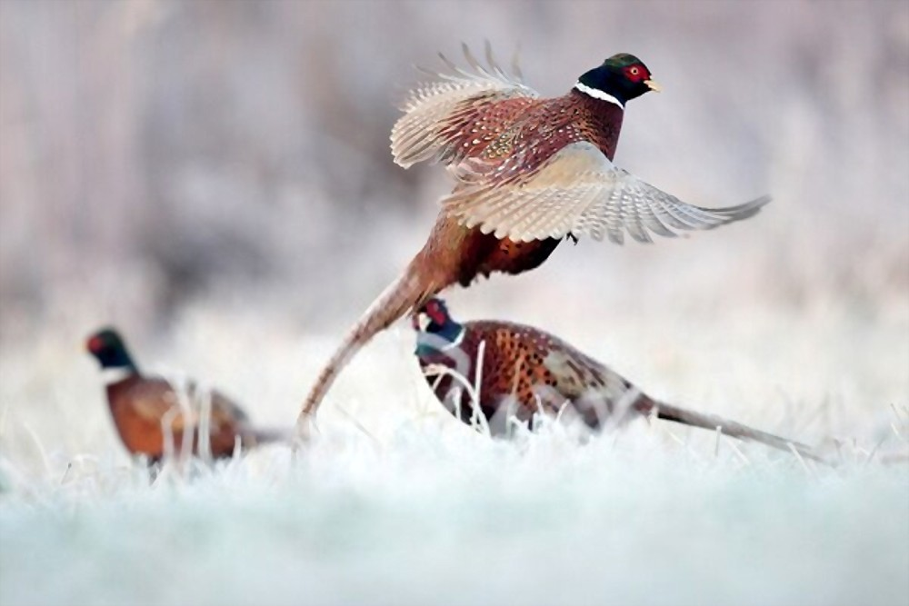 pheasant hunting in snow