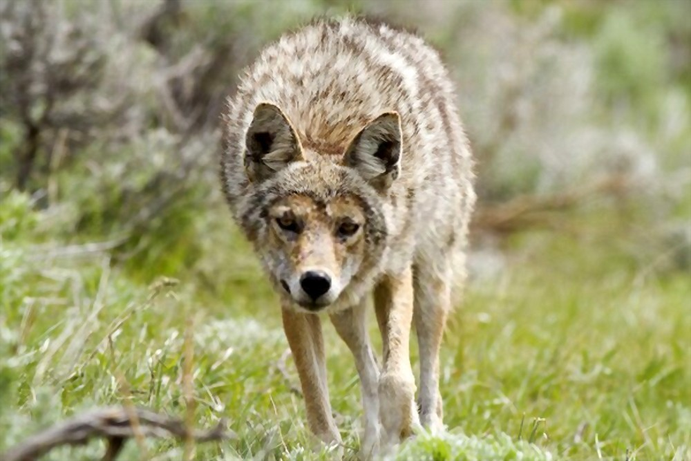 when is coyote breeding season