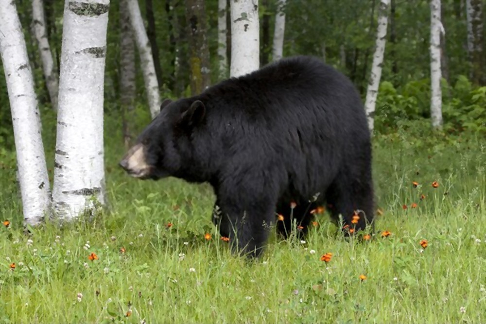 why do people hunt black bears