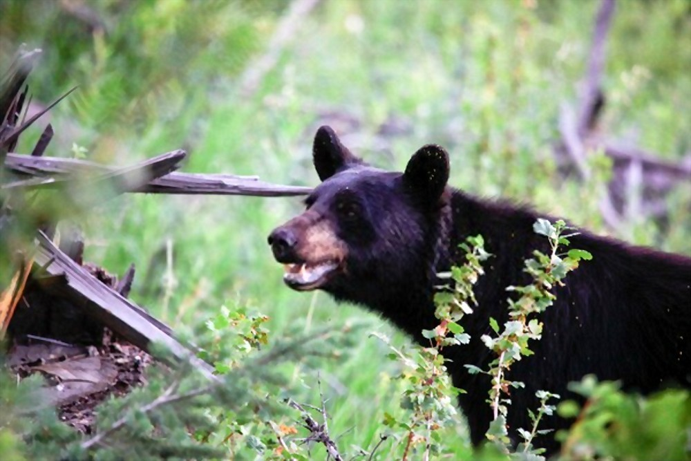 where to shoot a black bear with a rifle