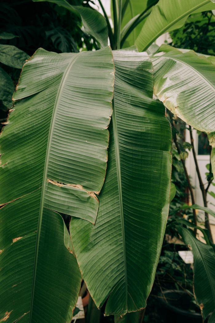 Banana leaves close-up