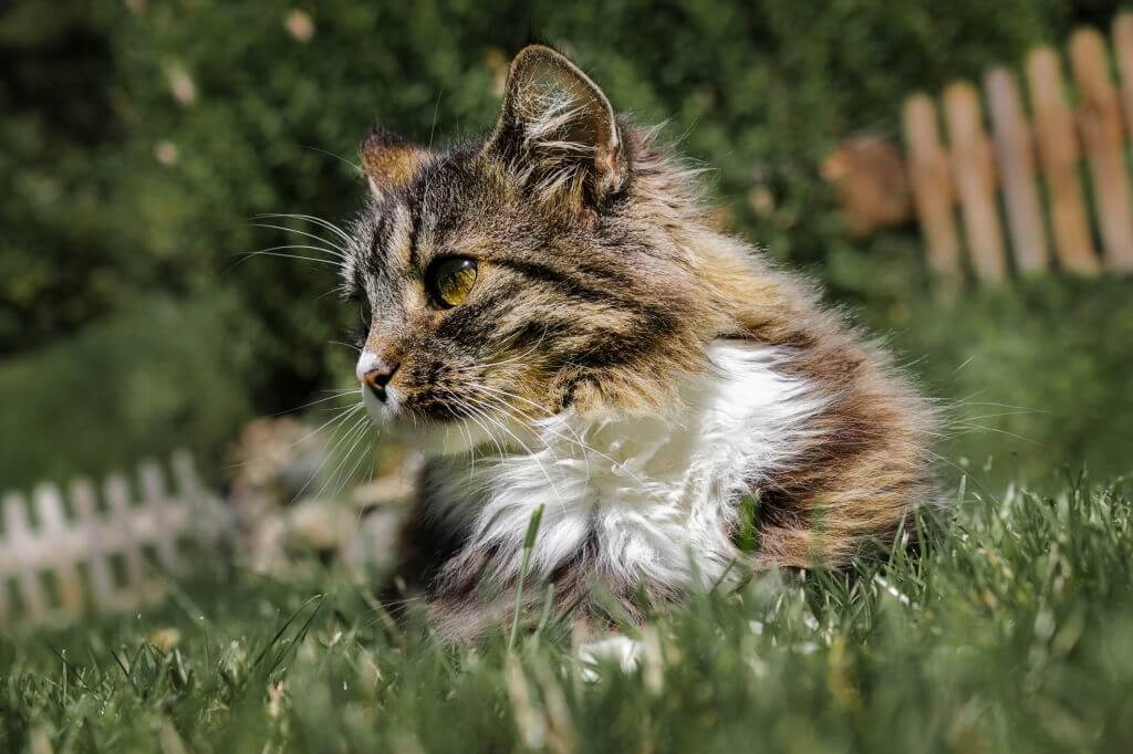 Is The Norwegian Forest A Good Family Pet